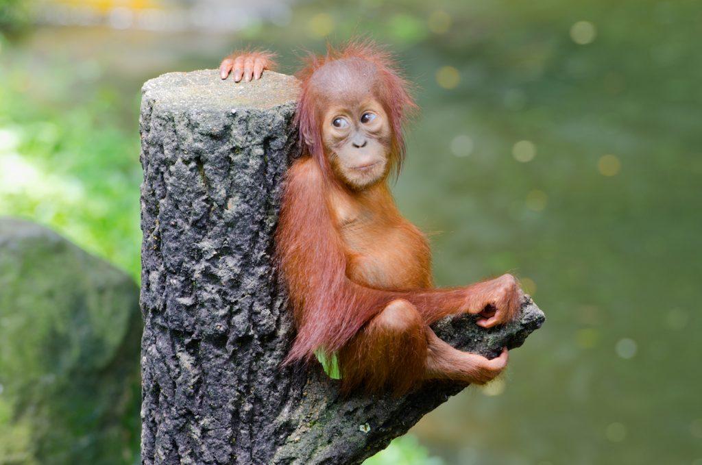 Borneo Project to Save Orangutan