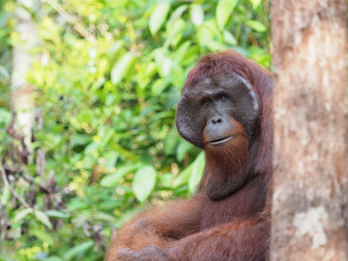 Orangutan - King Teri